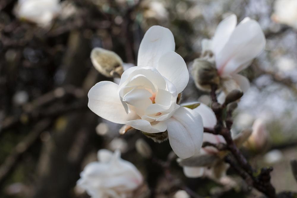 that magnificient magnolia tree