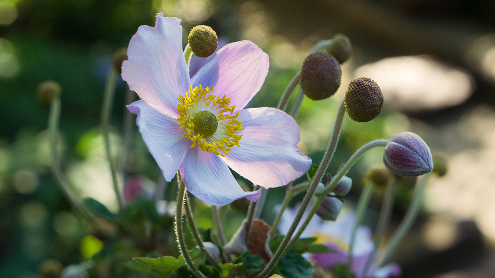 japanese anemones by aprilbern photography