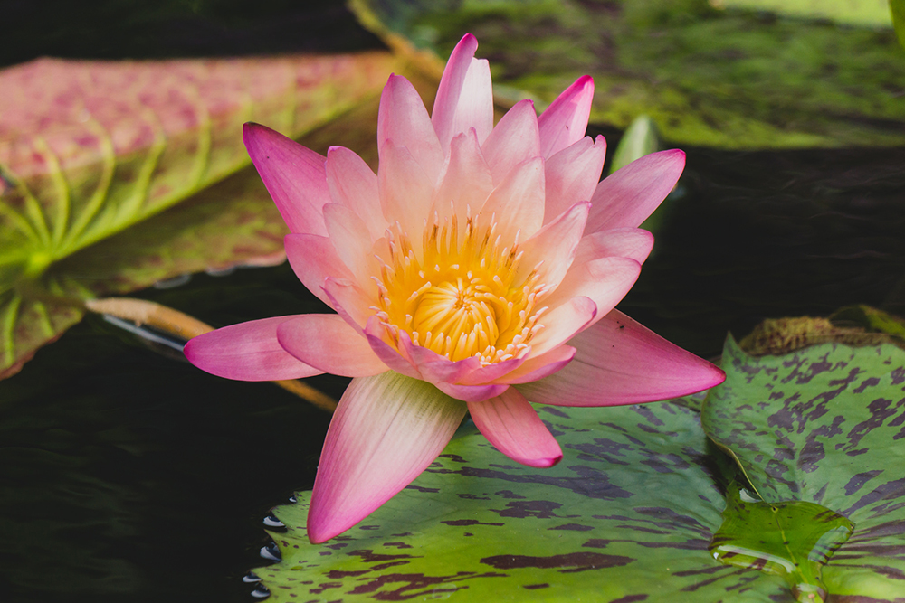 august waterlily by april bern photography