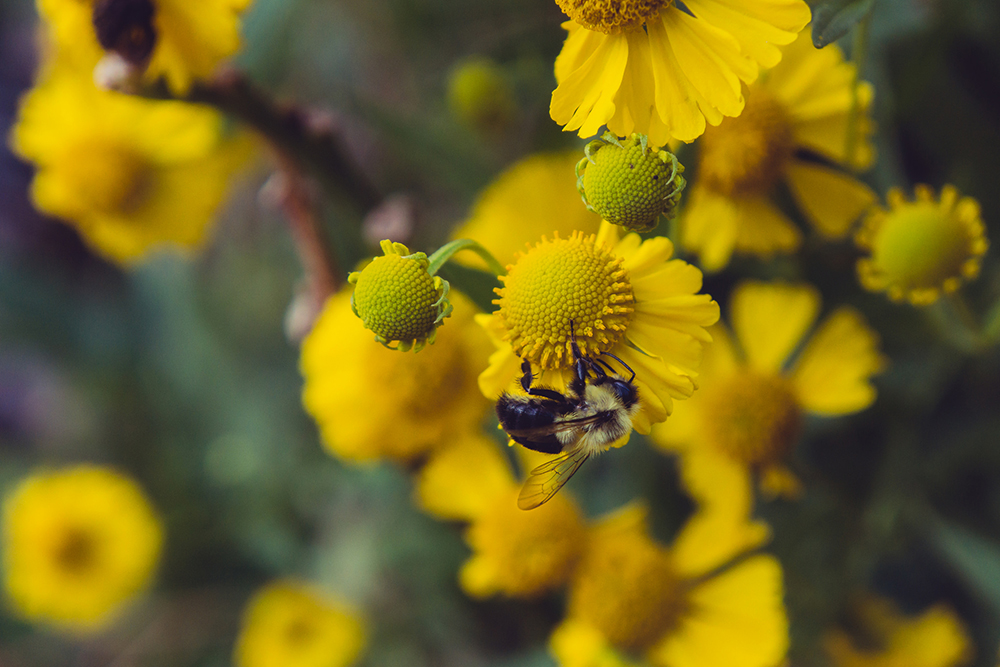 sneezeweed and bee.jpg
