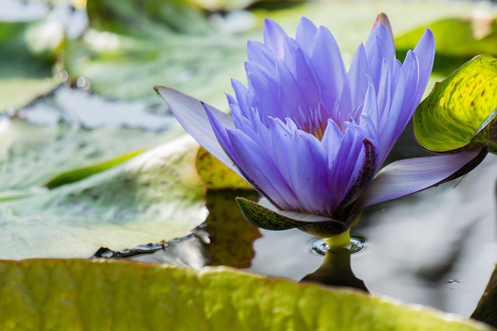 end of season waterlily.jpg