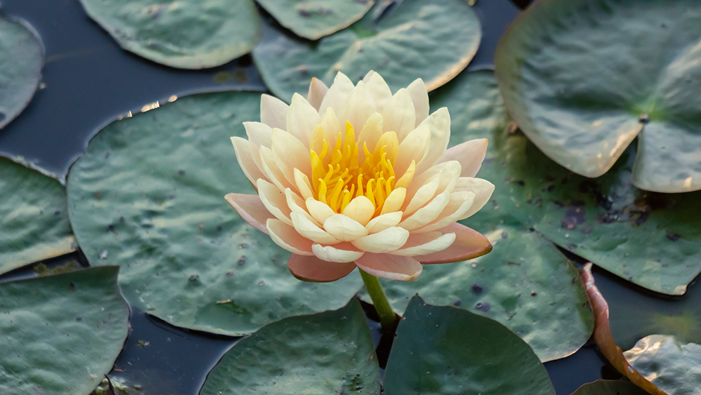 03-peaceful-waterlily.jpg