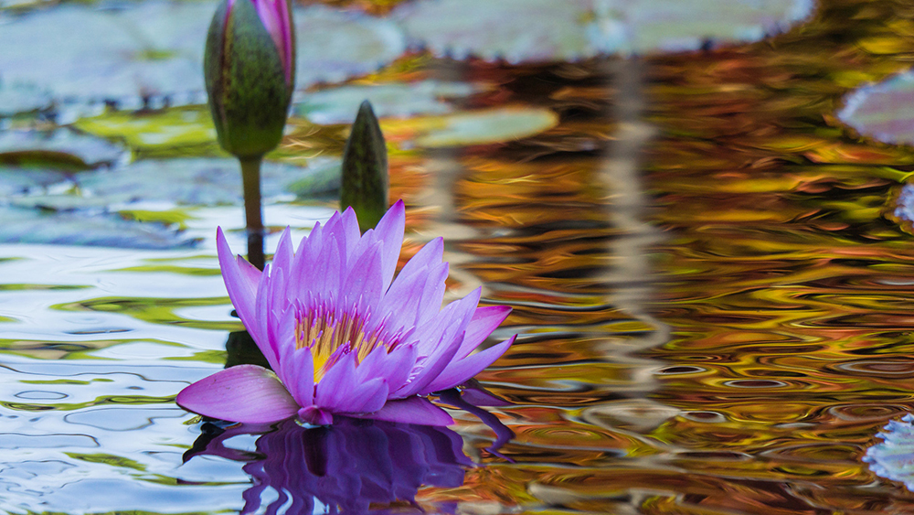 05-waterlily-dreams.jpg