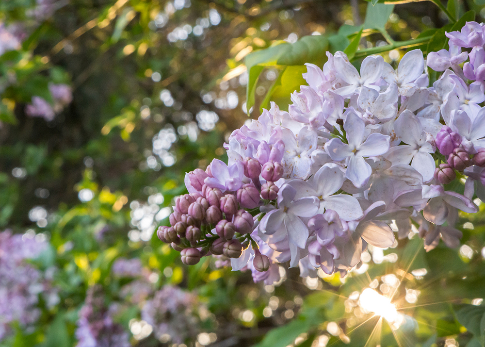 Spring Lilacs by april bern photography