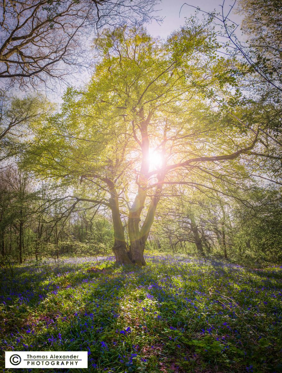 TA001_Bluebell_Tree.jpg