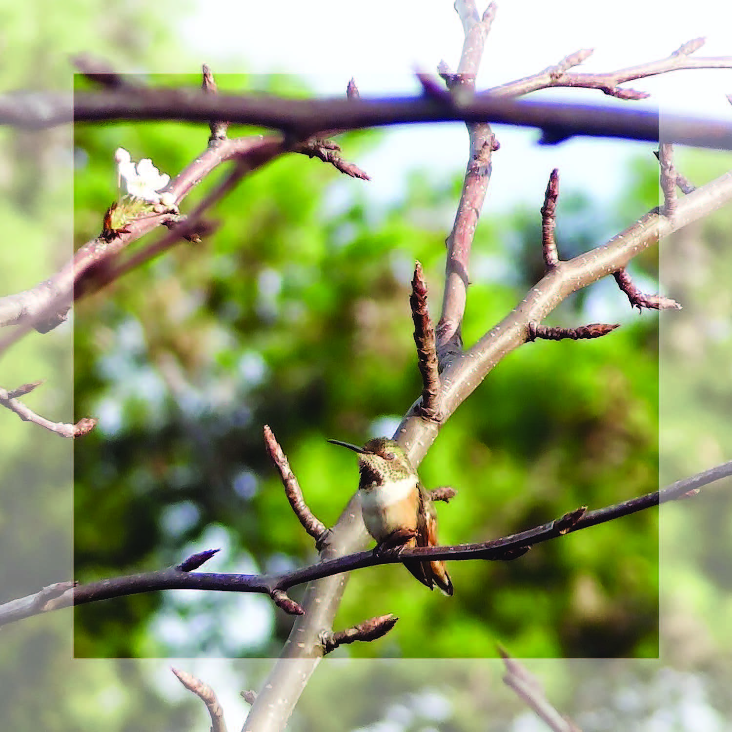 Chelsea Hipley   - I saw this little hummingbird in a tree this weekend and then started to  imagine  what it would be like to fly. Feeling weightless and free. Fluttering around from limb to limb then resting in the morning sun. Simply living in each moment. (photo taken in Laguna Niguel, CA)