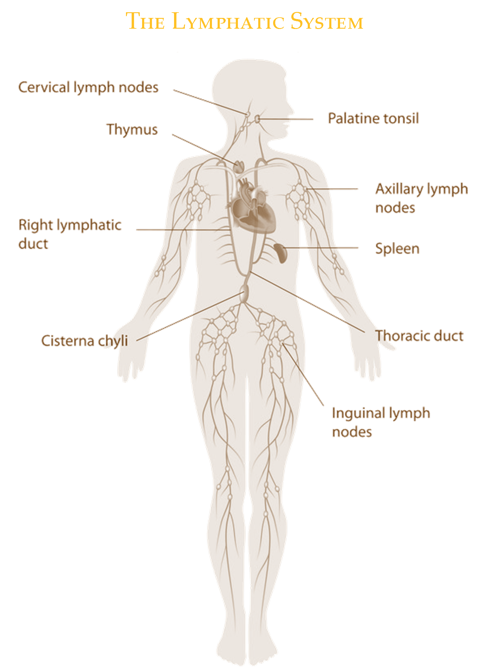 Lymphatic Drainage Manual Lymph Drainage