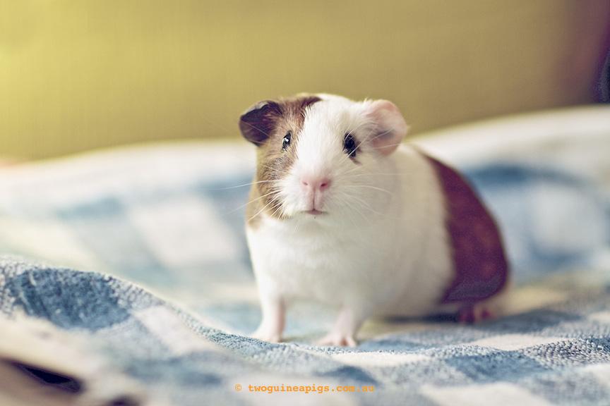 twoguineapigs_gertie_guinea-pig.jpg