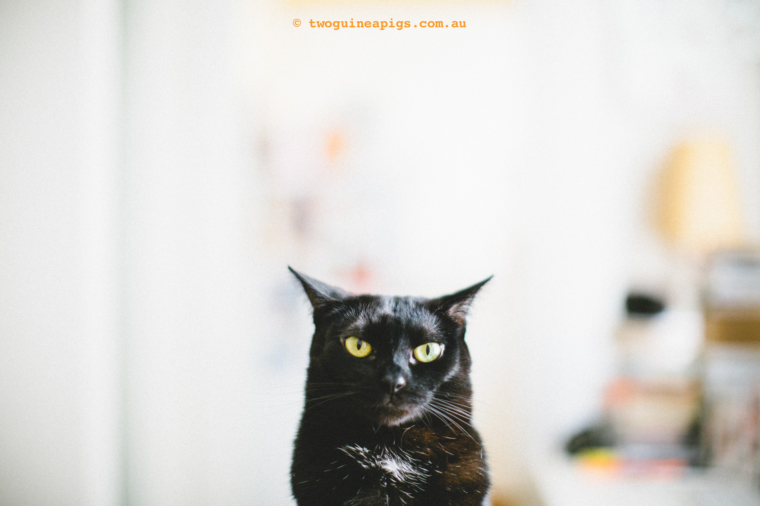 twoguineapigs_pf_black-cats.jpg
