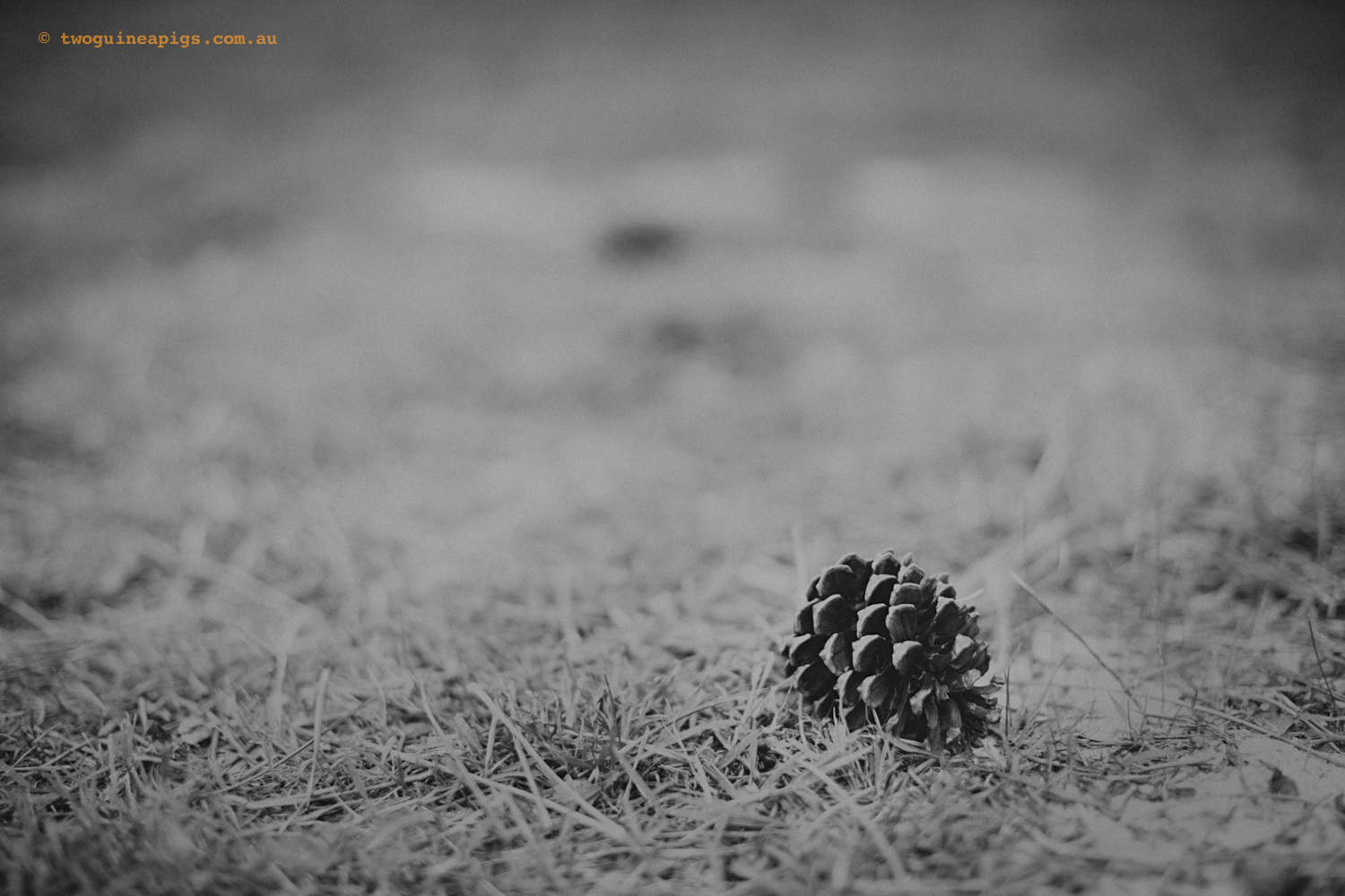 twoguineapigs_pine-cone_abstract2_1500.jpg