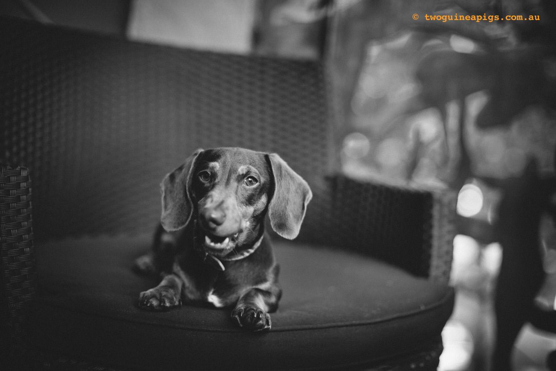 twoguineapigs_schnitzel_daschshund-10.jpg