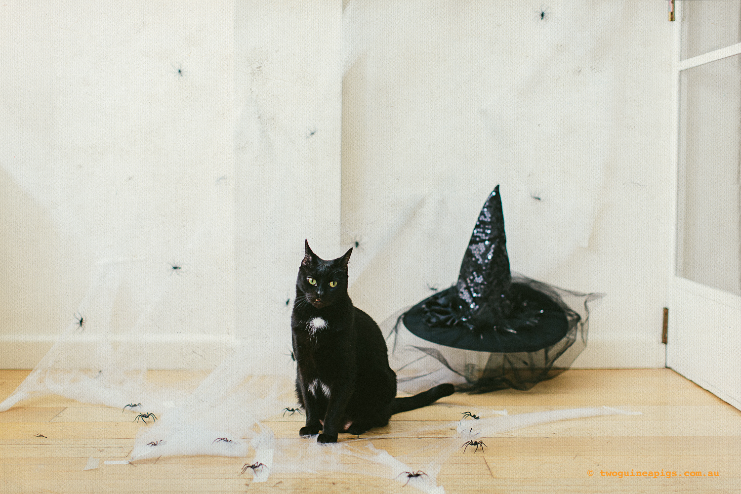twoguinepaigs_blackcats_halloween_witchshat_1500-2.jpg