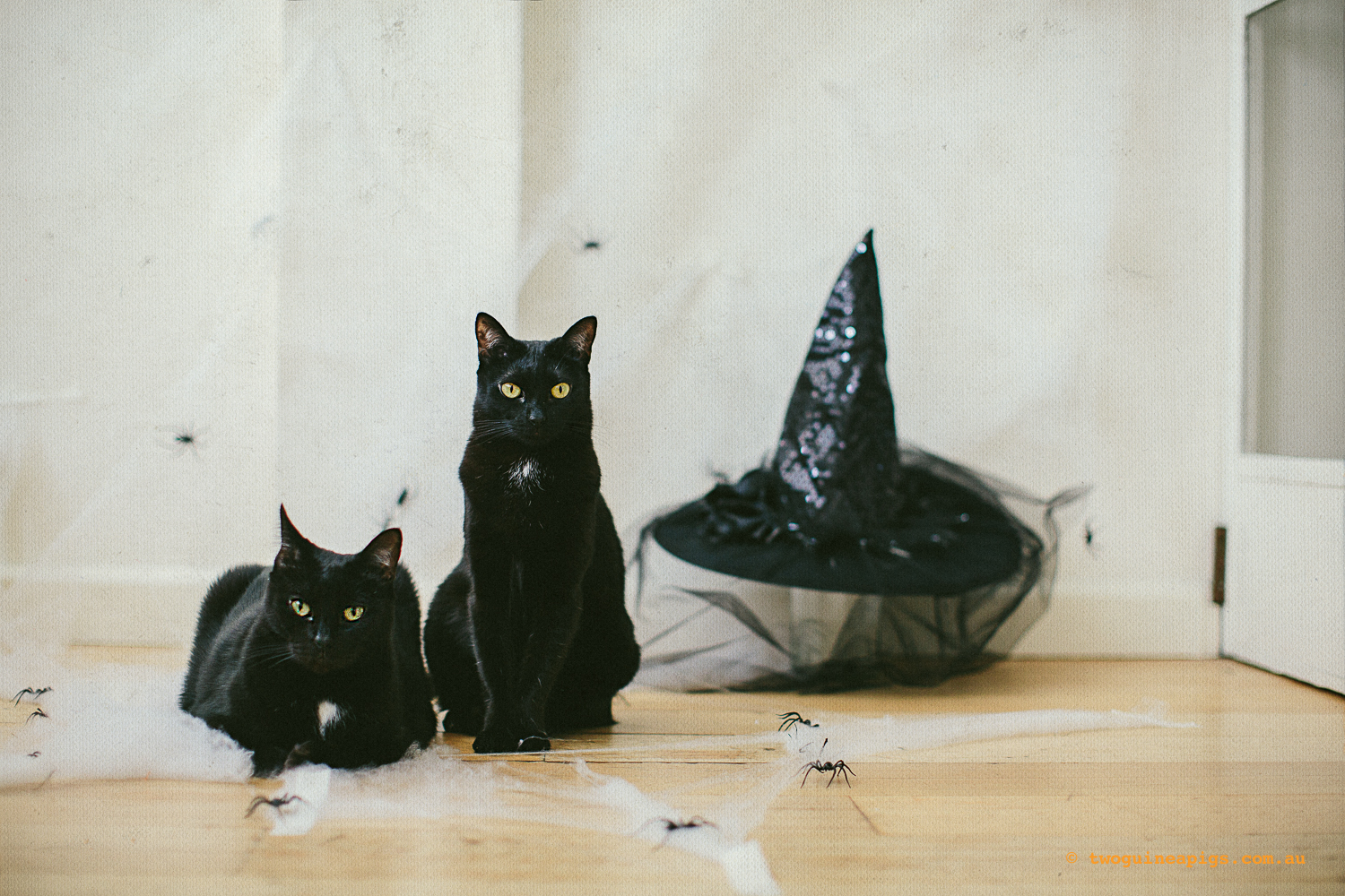 twoguinepaigs_blackcats_halloween_witchshat_1500-4.jpg