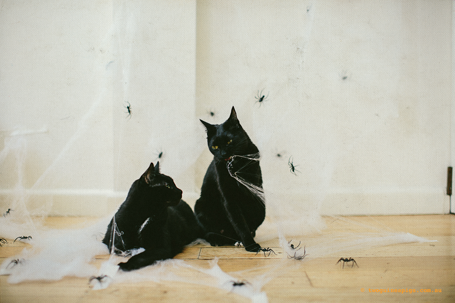 twoguinepaigs_blackcats_halloween_witchshat_1500.jpg