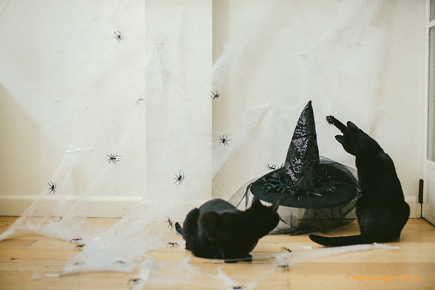 twoguinepaigs_blackcats_halloween_witchshat_1500-3.jpg