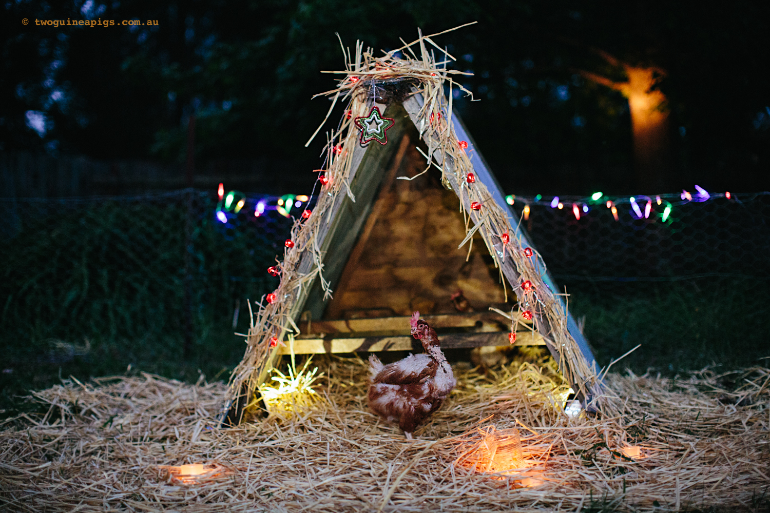 Staring a rescued ex-battery hen and Christmas hut at NSW Hen Rescue.