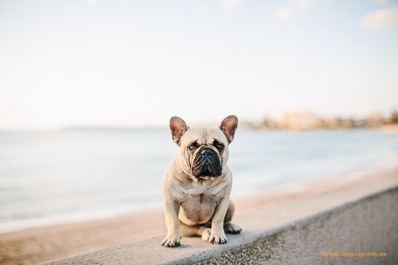 Pom Pom, French Bulldog © twoguineapigs.com.au
