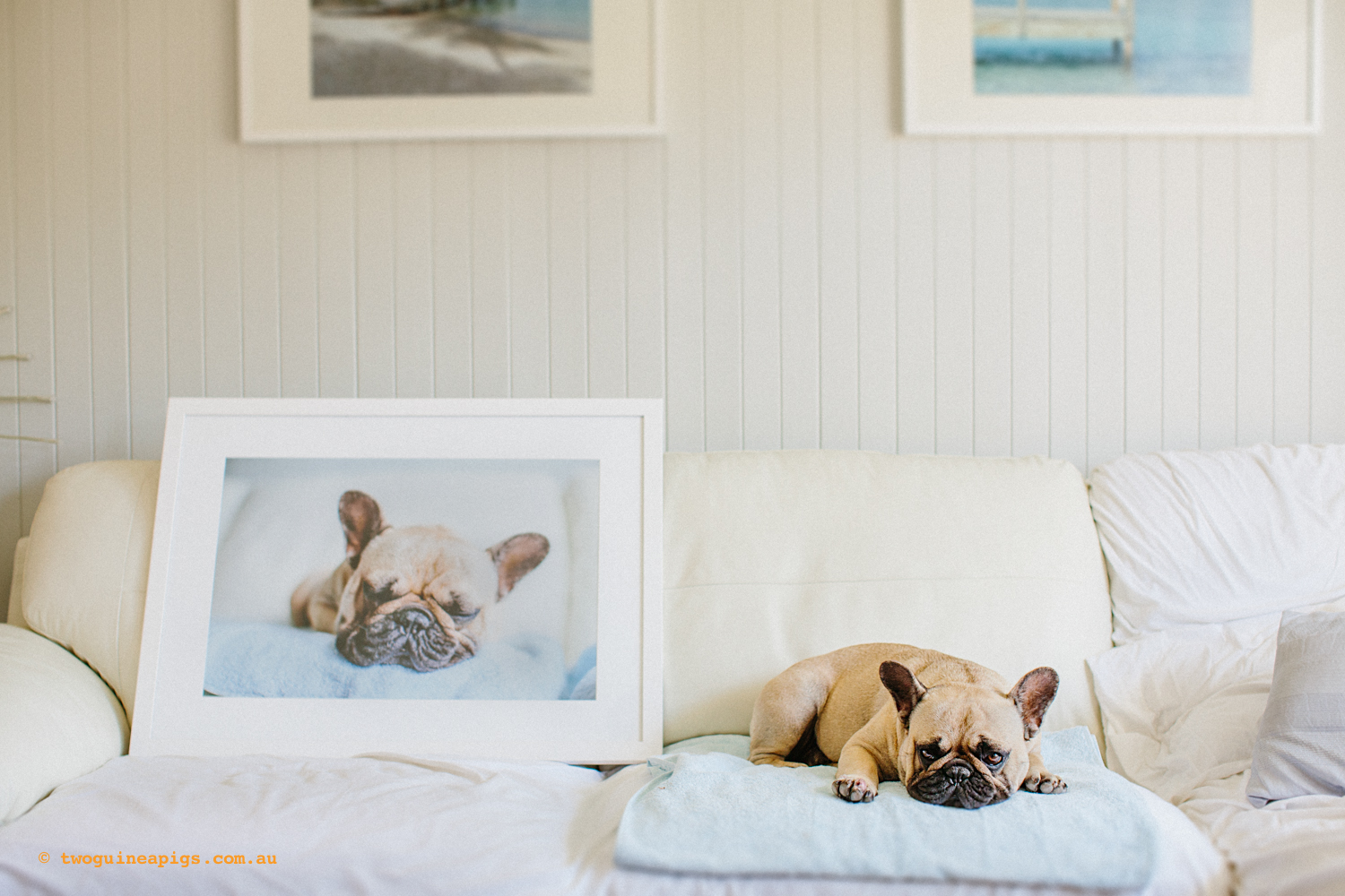 Featuring Pom Pom the French Bulldog and his twoguineapigs framed artwork