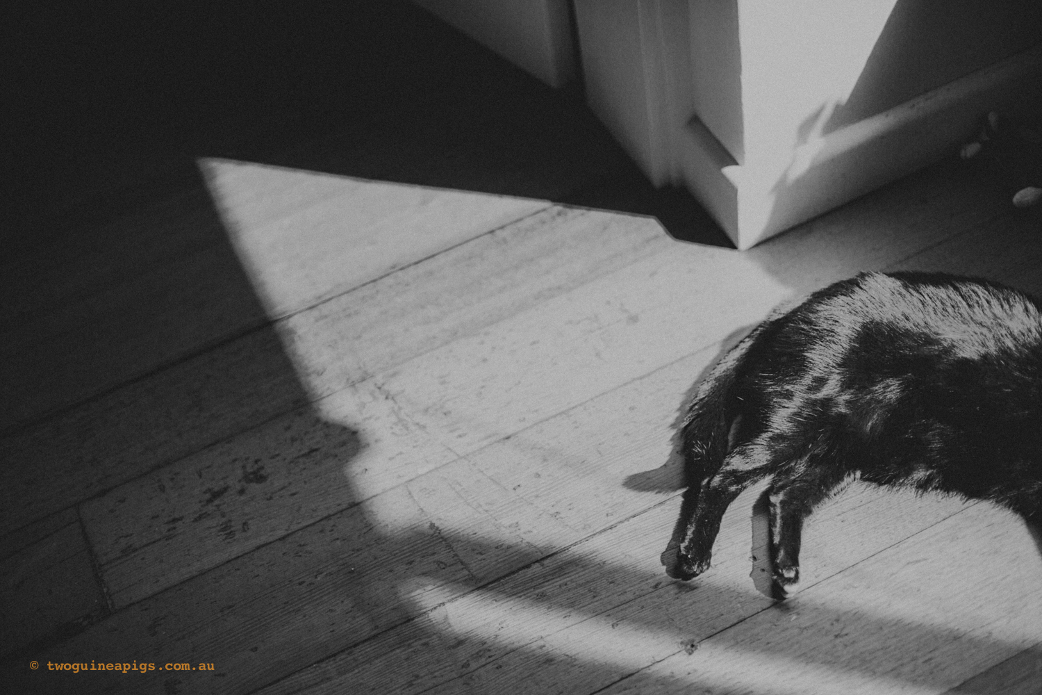 twoguineapigs_pet_photography_pf_sunroom_black_cats_1500-3.jpg