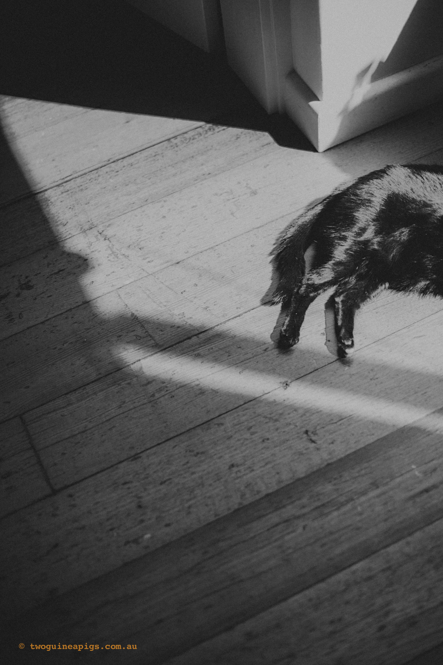 twoguineapigs_pet_photography_pf_sunroom_black_cats_1500-2.jpg