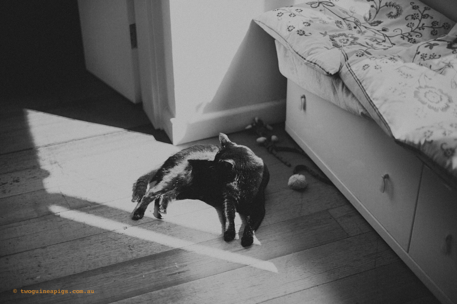 twoguineapigs_pet_photography_pf_sunroom_black_cats_1500.jpg