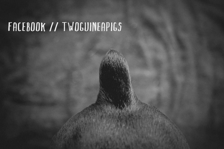 twoguineapigs_facebook