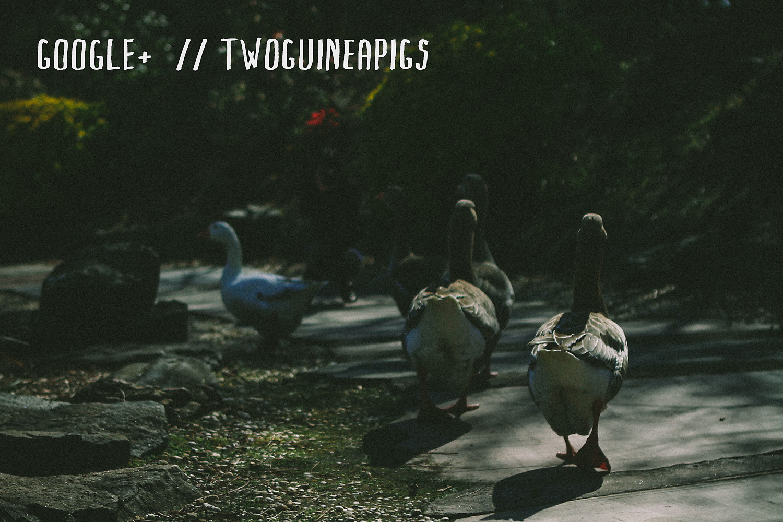 twoguineapigs_googleplus