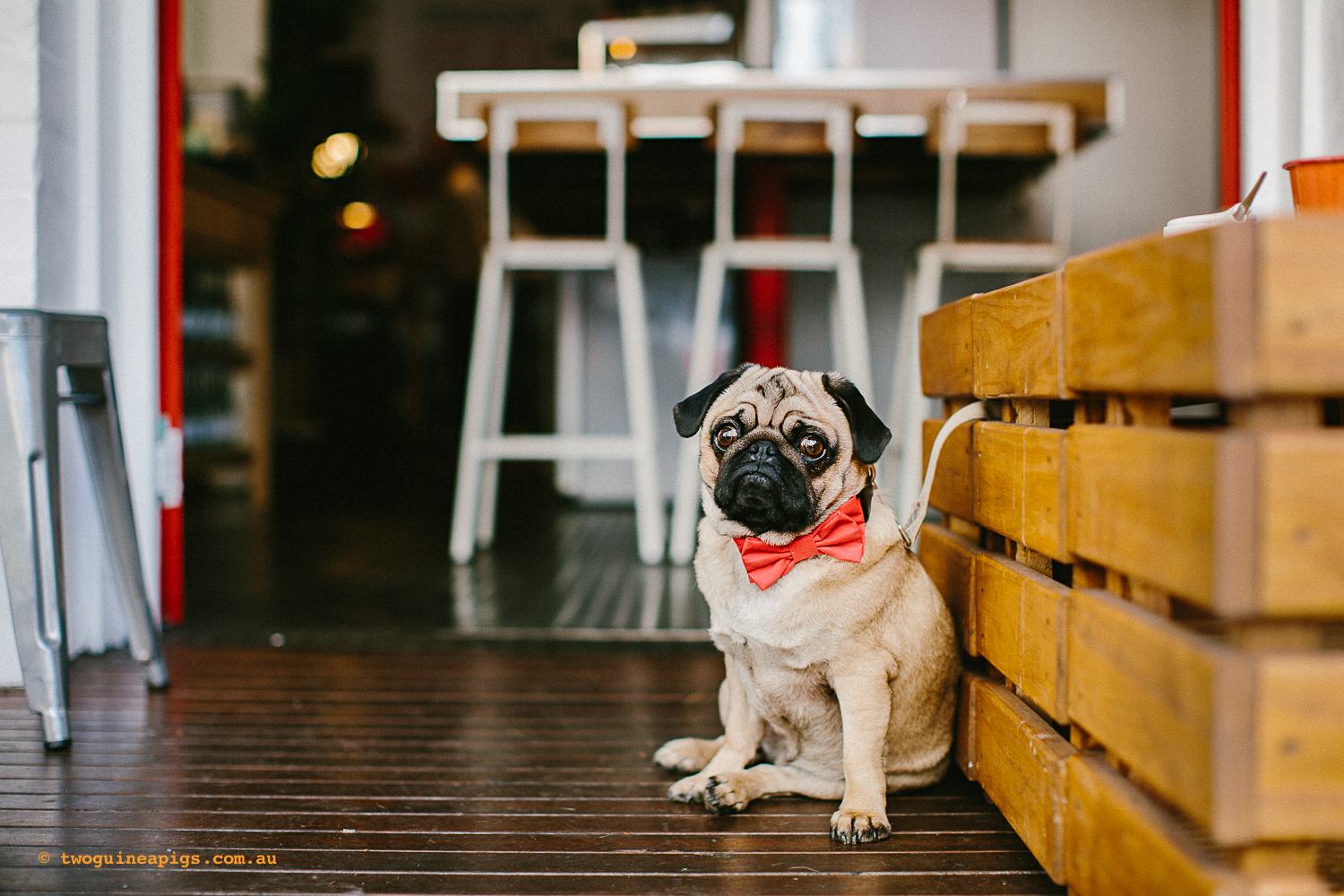 twoguineapigs_pet_photography_oh_jaffa_pug_glider_cafe_potts_point_1500-2.jpg