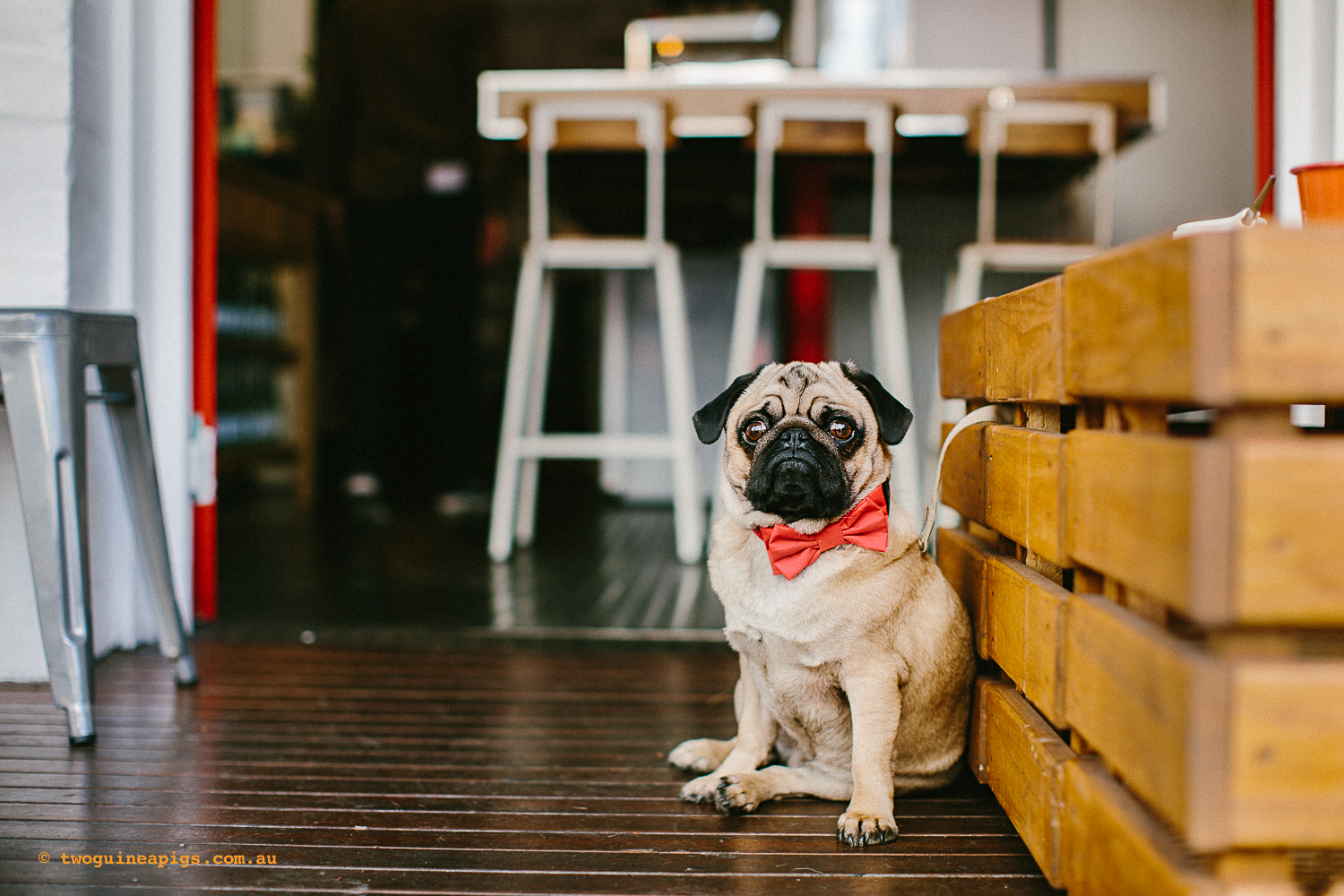 twoguineapigs_pet_photography_oh_jaffa_pug_glider_cafe_potts_point_1500-4.jpg