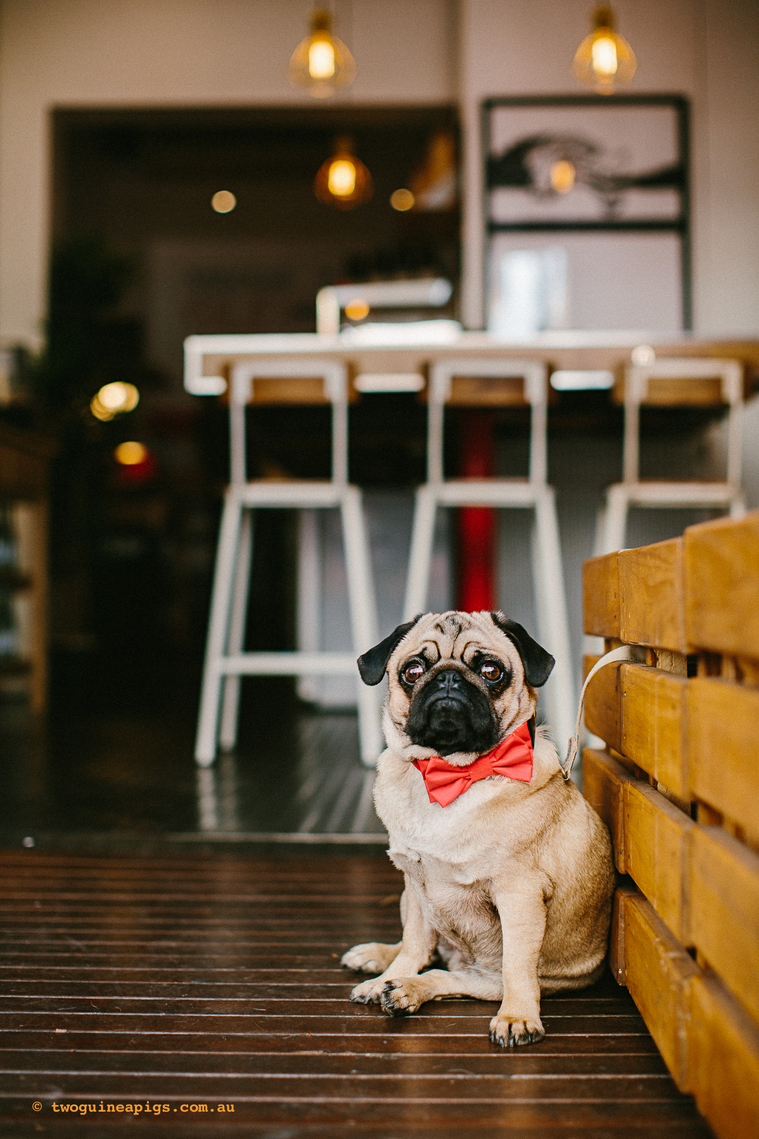 twoguineapigs_pet_photography_oh_jaffa_pug_glider_cafe_potts_point_1500-5.jpg