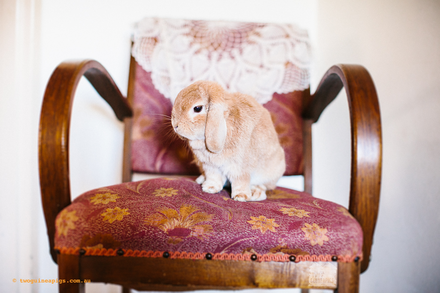 twoguineapigs_pet_photography_waffles_lop_eared_bunny_1500-5.jpg