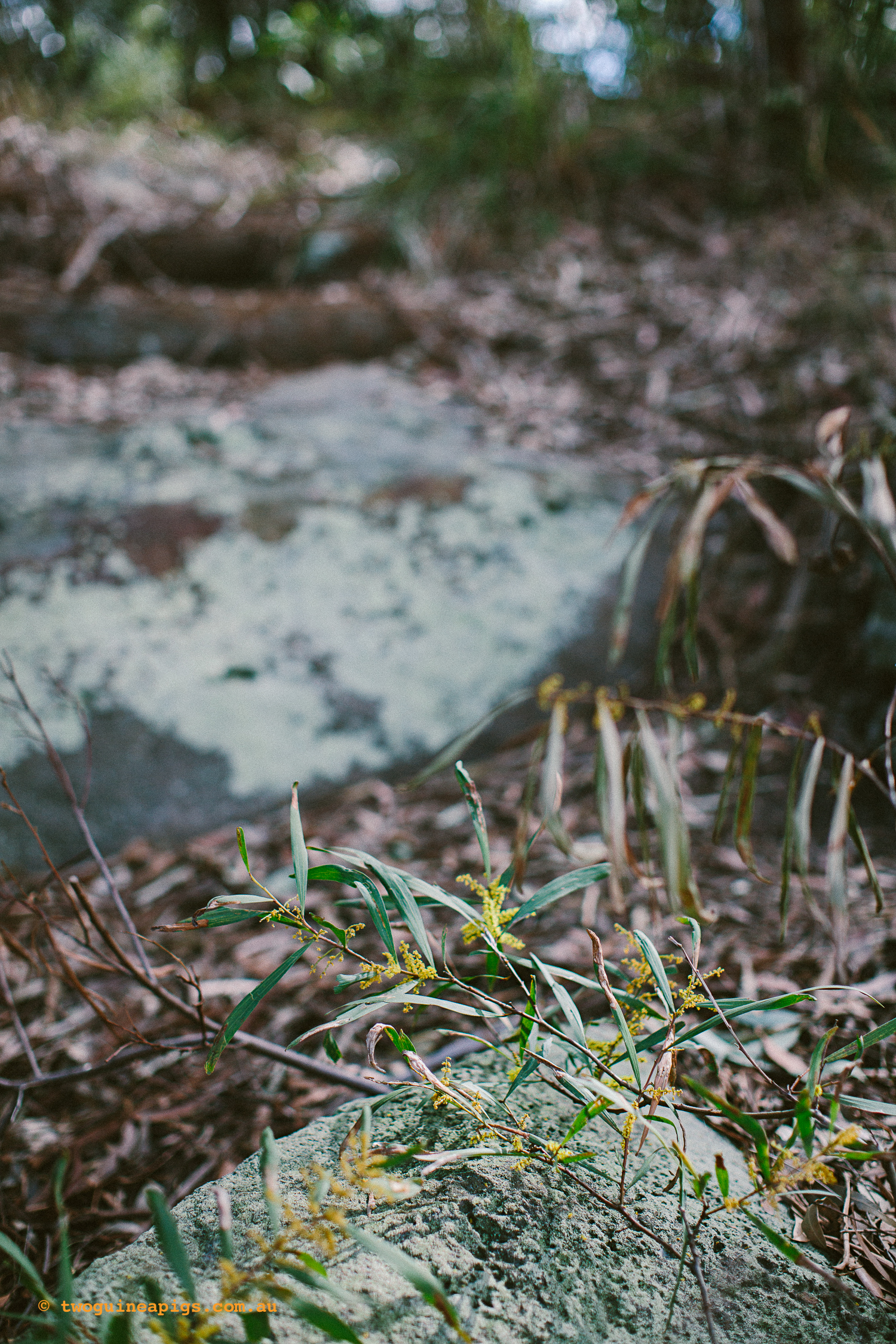 twoguineapigs_pet_photography_berry_island_reserve_wollstonecraft_location_scout_1500-12.jpg