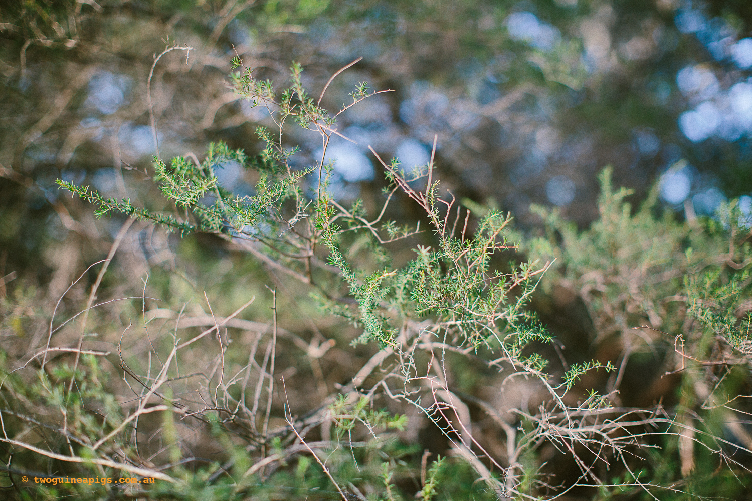 twoguineapigs_pet_photography_bells_head_reserve_wollstonecraft_location_scout_1500-3.jpg