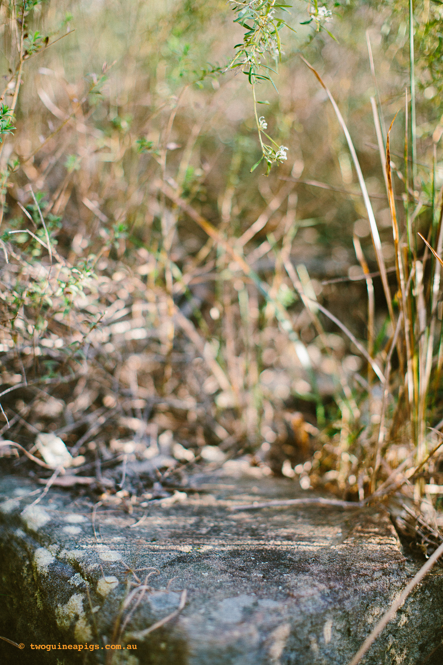 twoguineapigs_pet_photography_bells_head_reserve_wollstonecraft_location_scout_1500-22.jpg