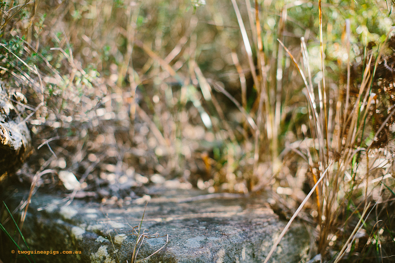 twoguineapigs_pet_photography_bells_head_reserve_wollstonecraft_location_scout_1500-23.jpg