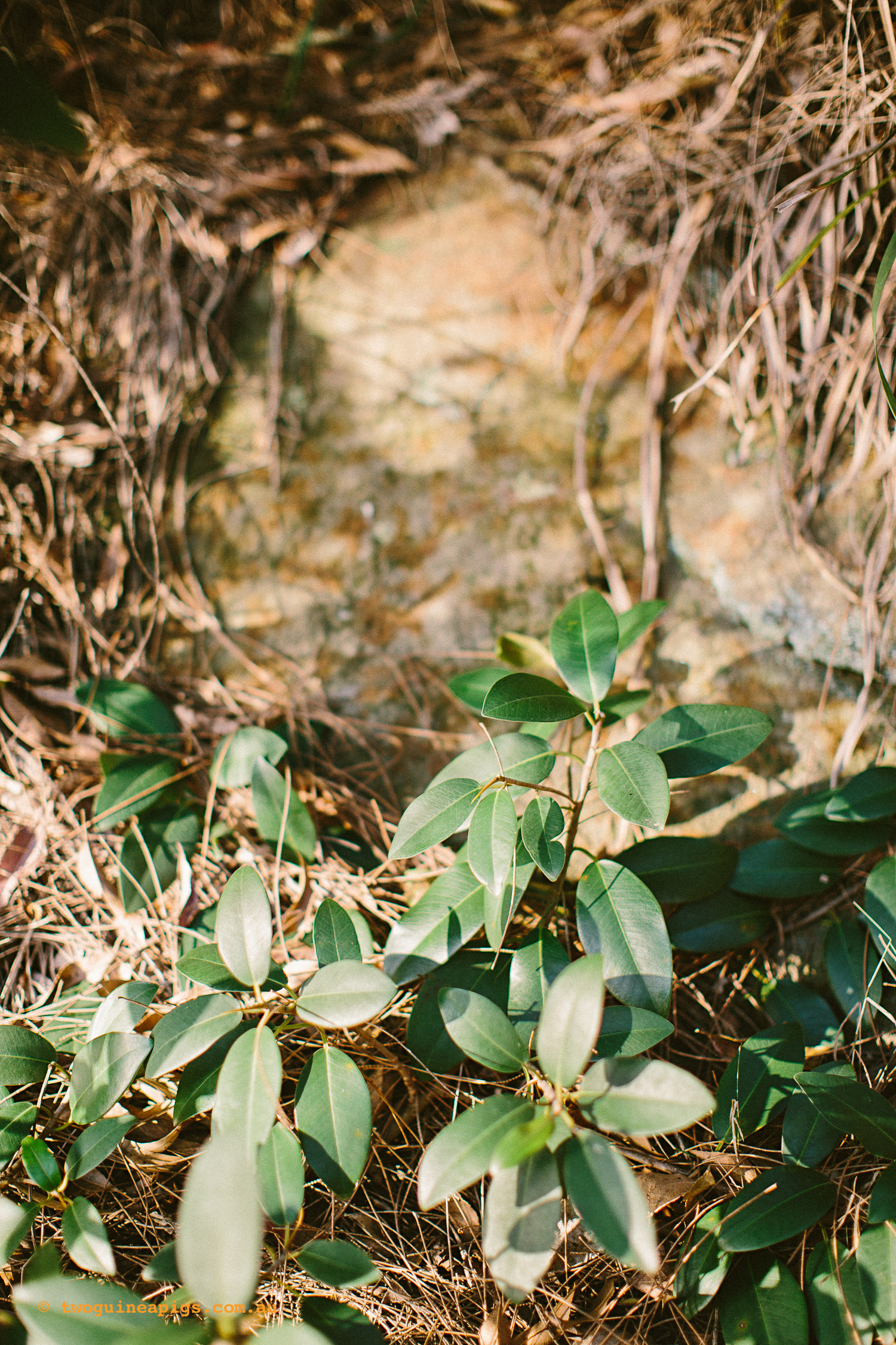 twoguineapigs_pet_photography_bells_head_reserve_wollstonecraft_location_scout_1500-25.jpg