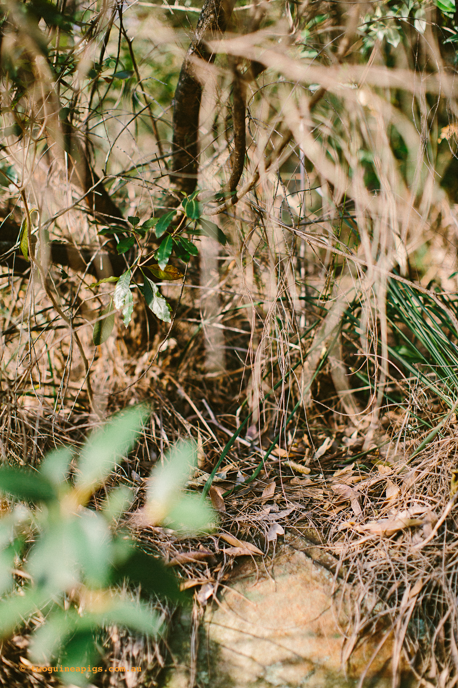 twoguineapigs_pet_photography_bells_head_reserve_wollstonecraft_location_scout_1500-27.jpg