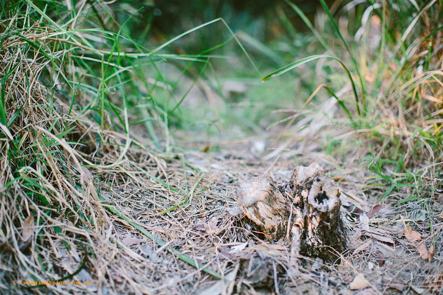twoguineapigs_pet_photography_bells_head_reserve_wollstonecraft_location_scout_1500-40.jpg