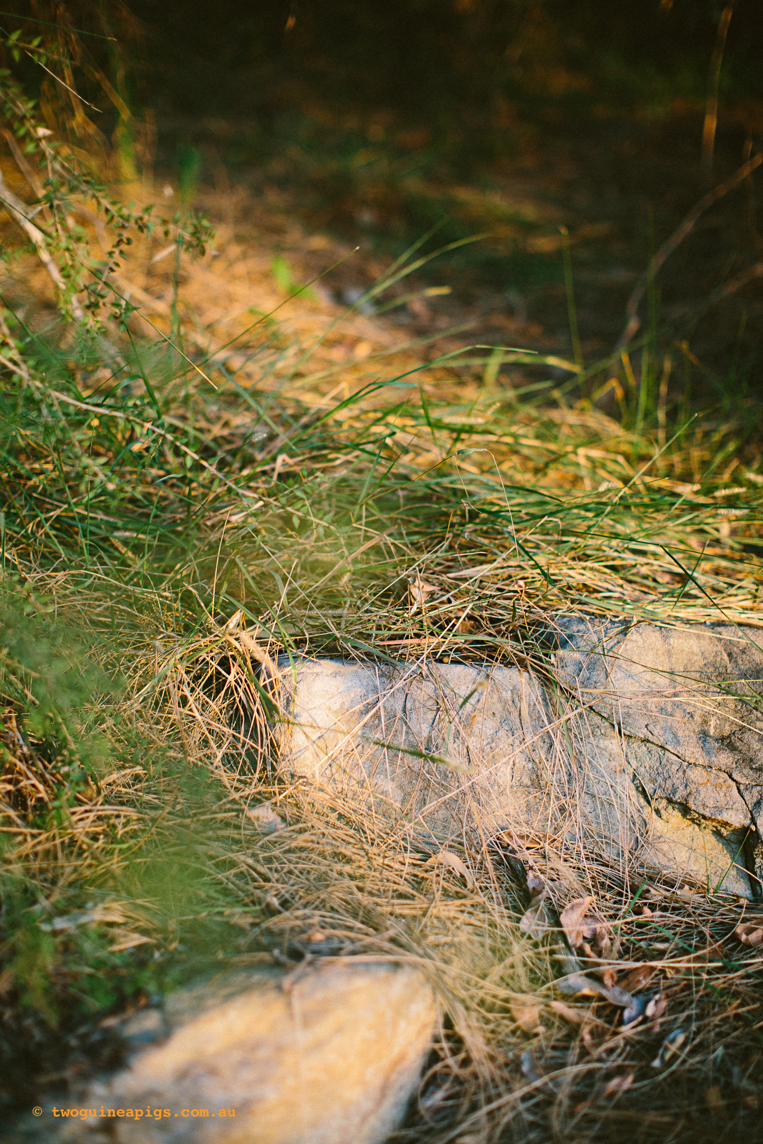 twoguineapigs_pet_photography_bells_head_reserve_wollstonecraft_location_scout_1500-46.jpg