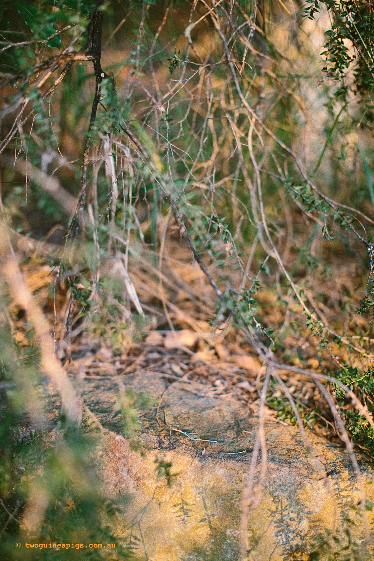 twoguineapigs_pet_photography_bells_head_reserve_wollstonecraft_location_scout_1500-48.jpg