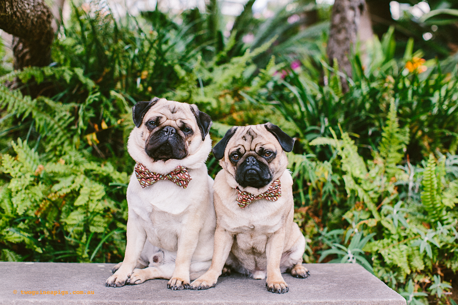 twoguineapigs_pet_photography_oh_jaffa_picnic_pugs_rodger_1500-38.jpg