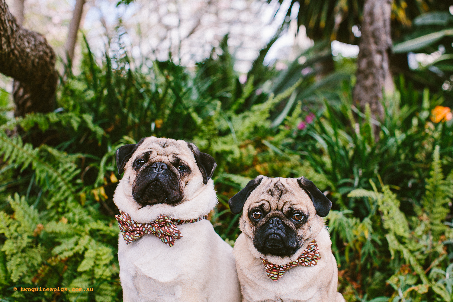 twoguineapigs_pet_photography_oh_jaffa_picnic_pugs_rodger_1500-35.jpg