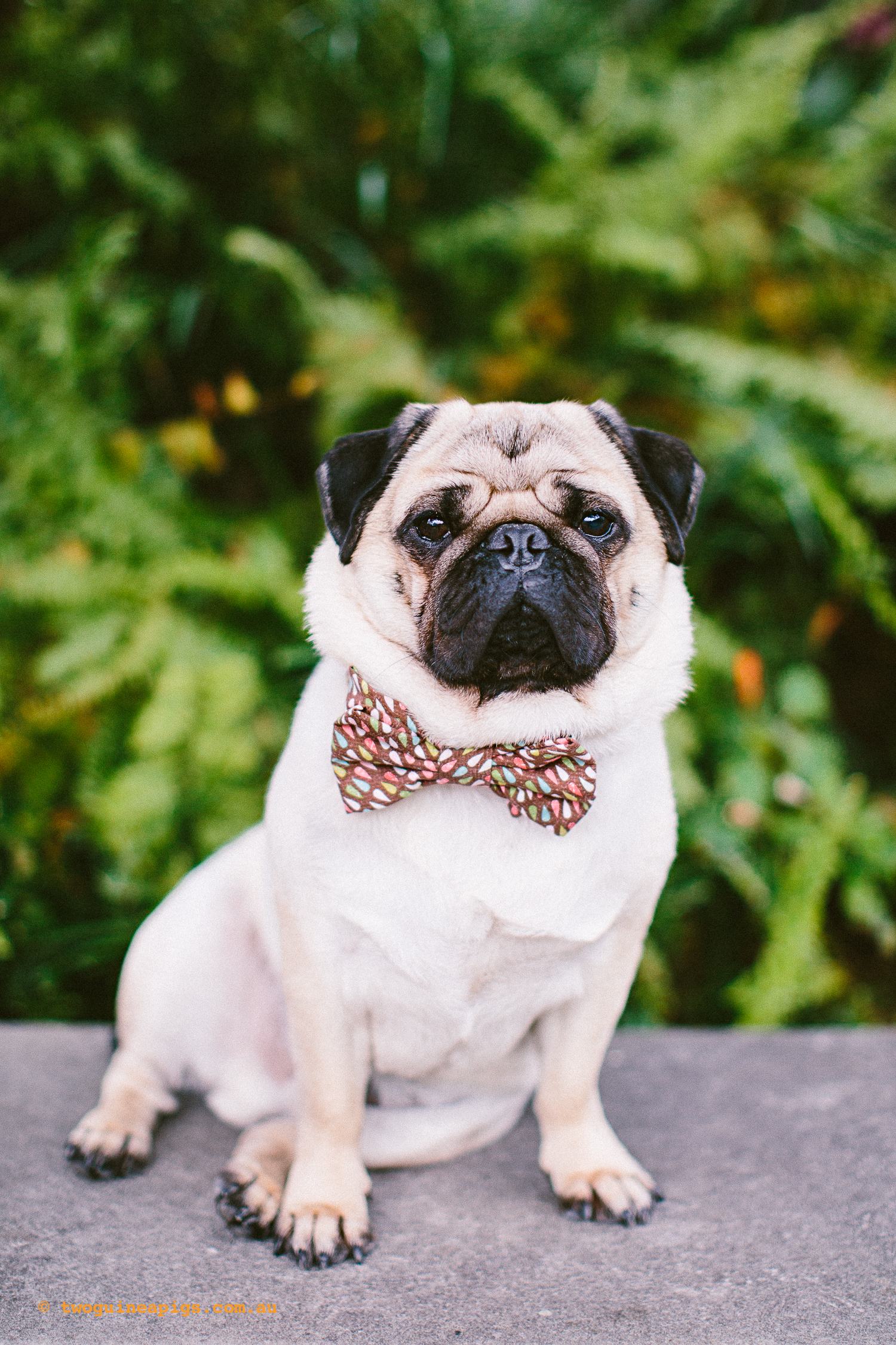 twoguineapigs_pet_photography_oh_jaffa_picnic_pugs_rodger_1500-32.jpg