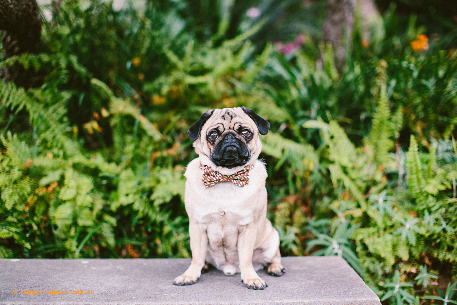 twoguineapigs_pet_photography_oh_jaffa_picnic_pugs_rodger_1500-27.jpg