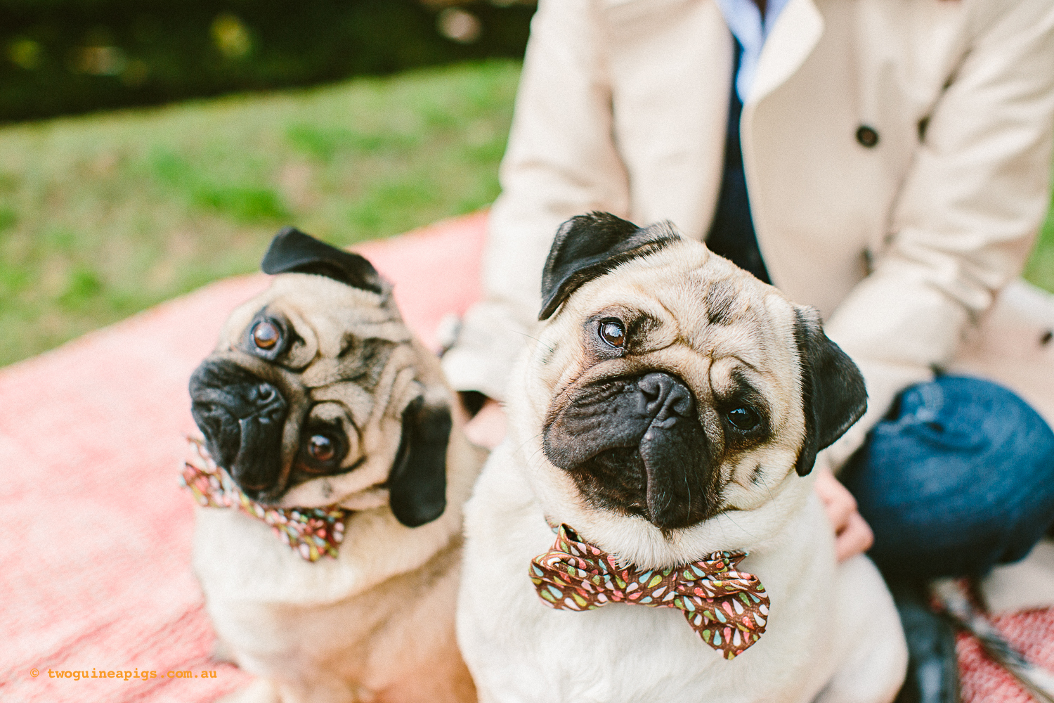 twoguineapigs_pet_photography_oh_jaffa_picnic_pugs_rodger_1500-4.jpg