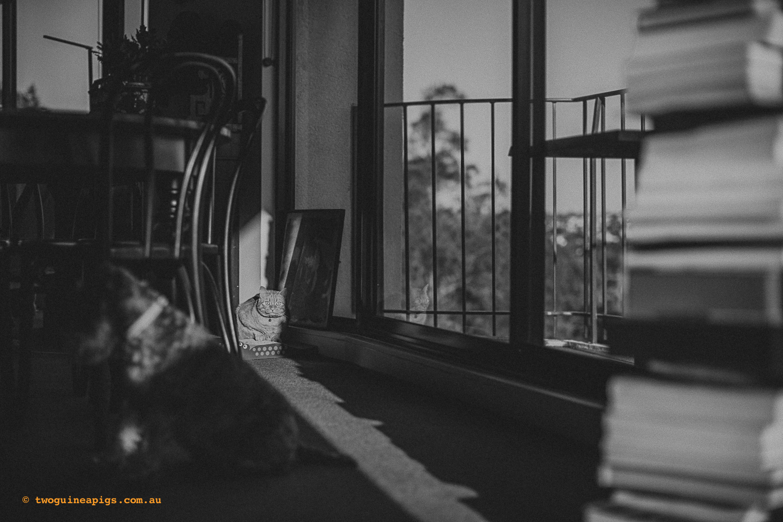 twoguinepaigs_pet_photography_neillie_schnauzer_annie_orange_cat_1500-9.jpg