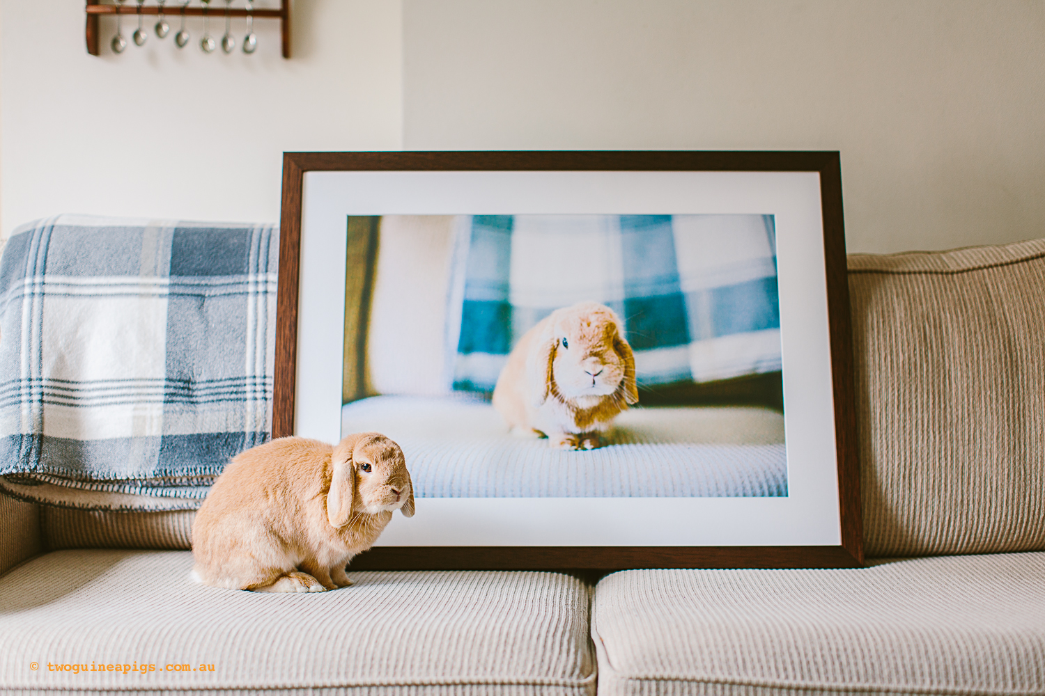 twoguineapigs_pet_photography_waffles_lop_eared_bunny