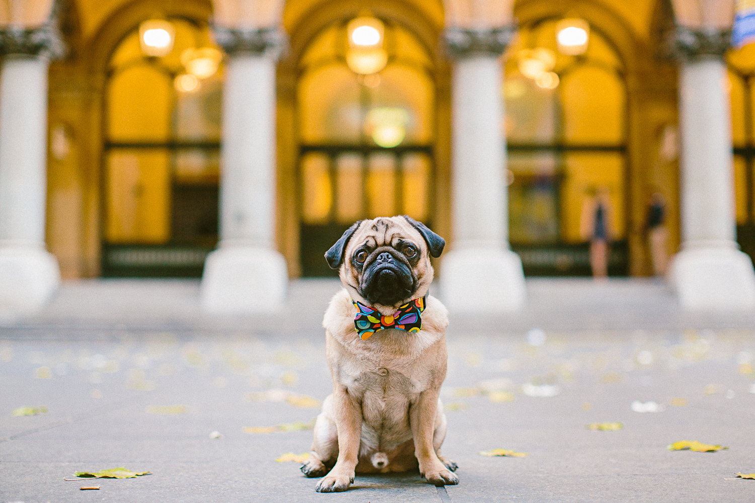 twoguineapigs_pet_photography_oh_jaffa_pug_wearing_bow_tie_collars_circle_design