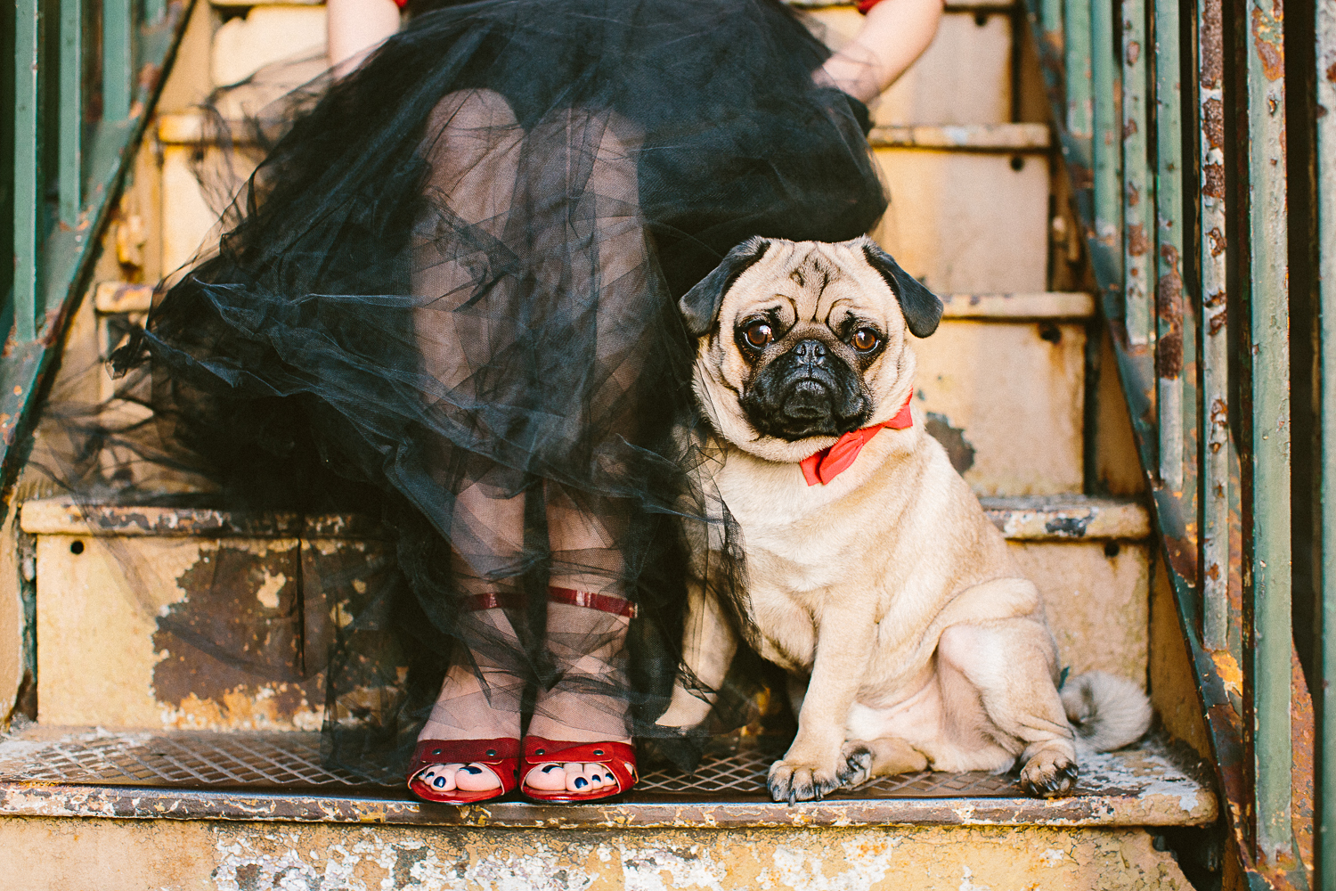 twoguineapigs_pet_photography_oh_jaffa_pug_wearing_bow_tie_collars_red_design_cocktail_weddings