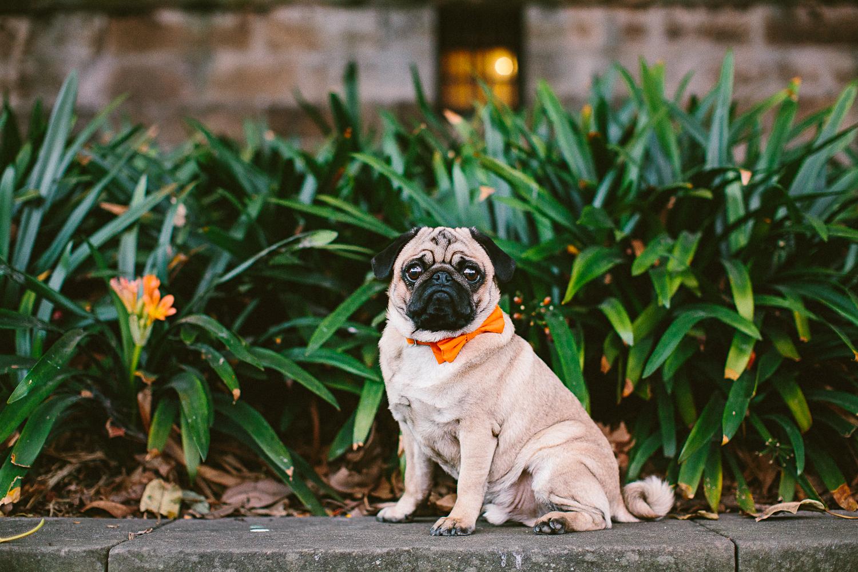 twoguineapigs_pet_photography_oh_jaffa_pug_wearing_bow_tie_collars_orange_design_weddings